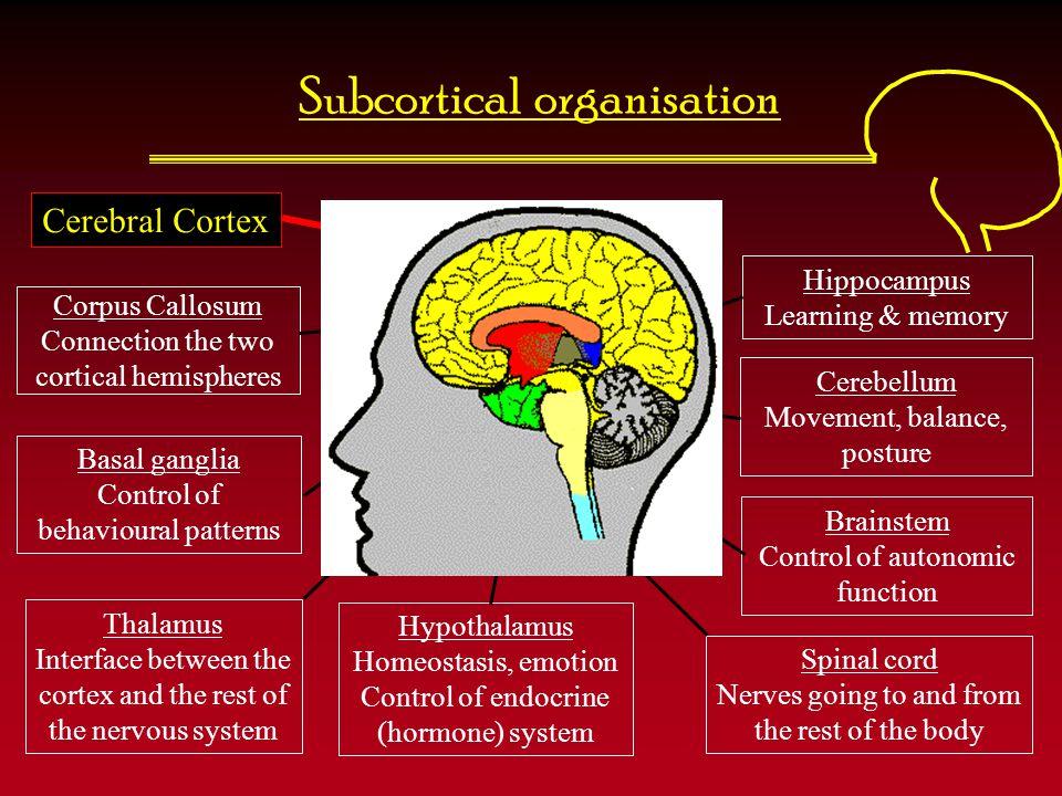 The lobes of the cerebral cortex Frontal lobe Temporal lobe Cerebellum Occipital lobe Parietal lobe Central Sulcus (or fissure) Lateral (Sylvian) fissure Precentral gyrus Postcentral gyrus