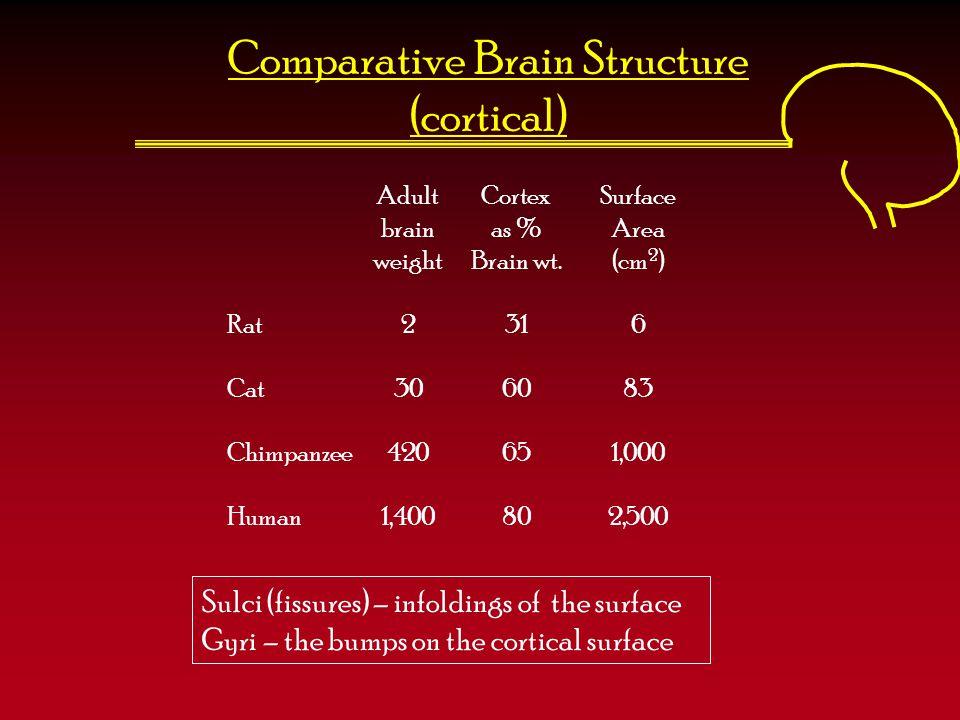 Comparative Brain Structure (cortical) Adult Cortex Surface brain as %Area weightBrain wt.(cm 2 ) Rat2316 Cat306083 Chimpanzee420651,000 Human1,400802