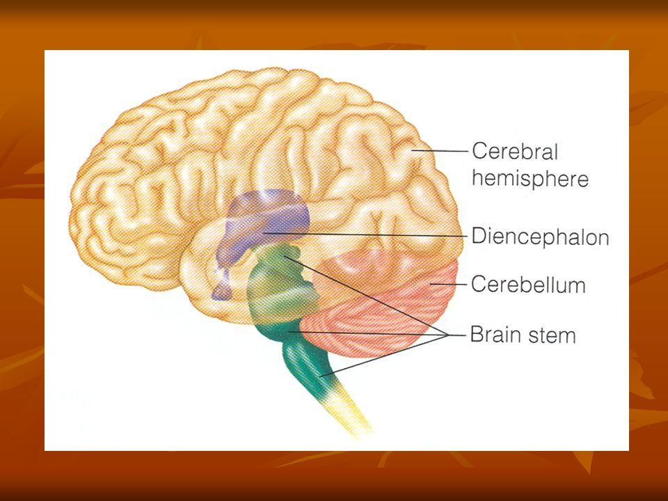 The thalamus It encloses the shallow third ventricle of the brain It encloses the shallow third ventricle of the brain It is a relay station for sensory impulses.