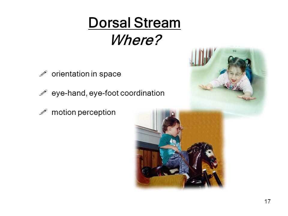17 Dorsal Stream Where?  eye-hand, eye-foot coordination  motion perception  orientation in space
