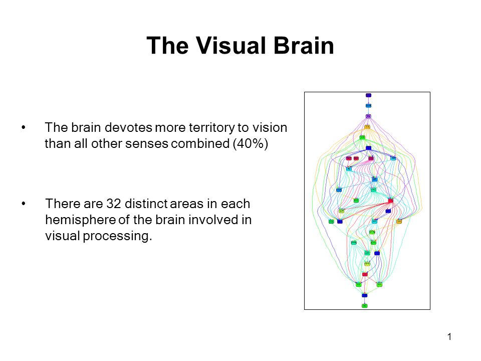 1 The Visual Brain The brain devotes more territory to vision than all other senses combined (40%) There are 32 distinct areas in each hemisphere of t