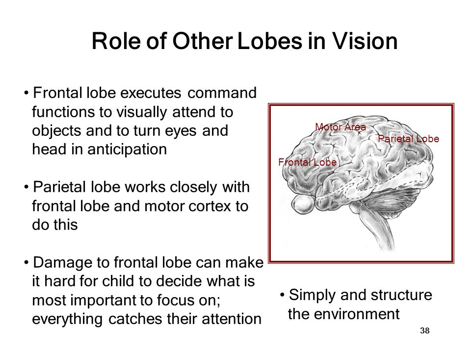 Frontal Lobe Parietal Lobe Role of Other Lobes in Vision Frontal lobe executes command functions to visually attend to objects and to turn eyes and he