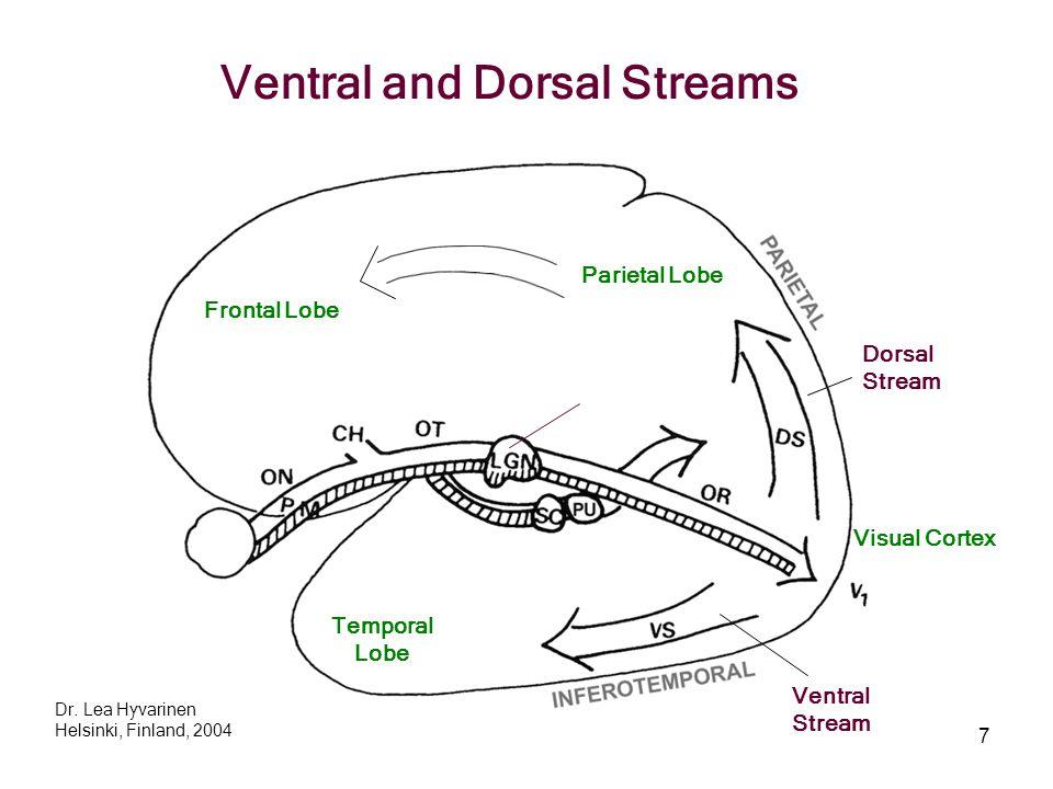 7 Frontal Lobe Parietal Lobe Dorsal Stream Ventral Stream Temporal Lobe Dr. Lea Hyvarinen Helsinki, Finland, 2004 Ventral and Dorsal Streams Visual Co