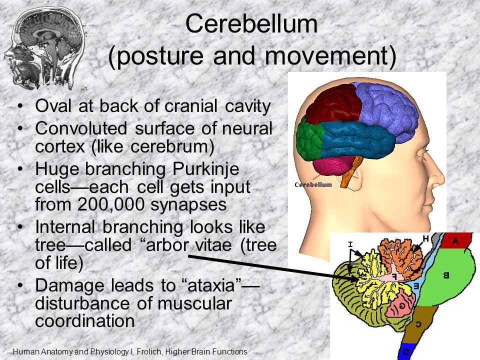 Human Anatomy and Physiology I, Frolich, Higher Brain Functions Cerebellum (posture and movement) Oval at back of cranial cavity Convoluted surface of neural cortex (like cerebrum) Huge branching Purkinje cells—each cell gets input from 200,000 synapses Internal branching looks like tree—called arbor vitae (tree of life) Damage leads to ataxia — disturbance of muscular coordination