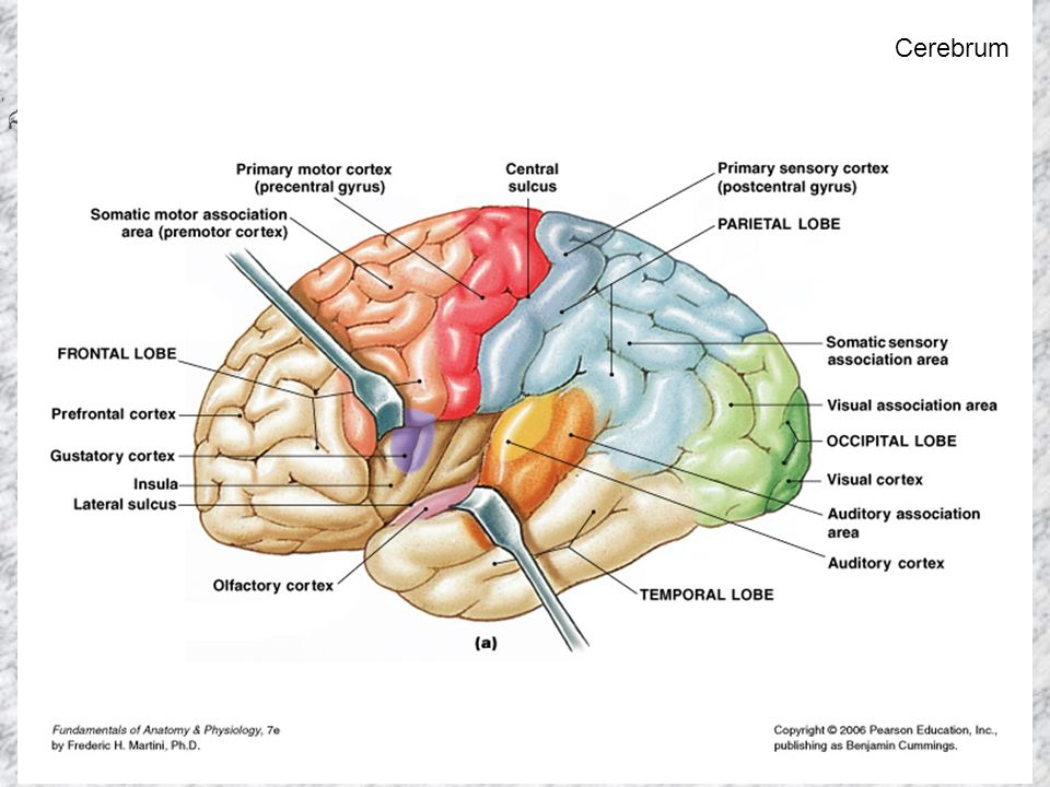 Human Anatomy and Physiology I, Frolich, Higher Brain Functions Cerebrum