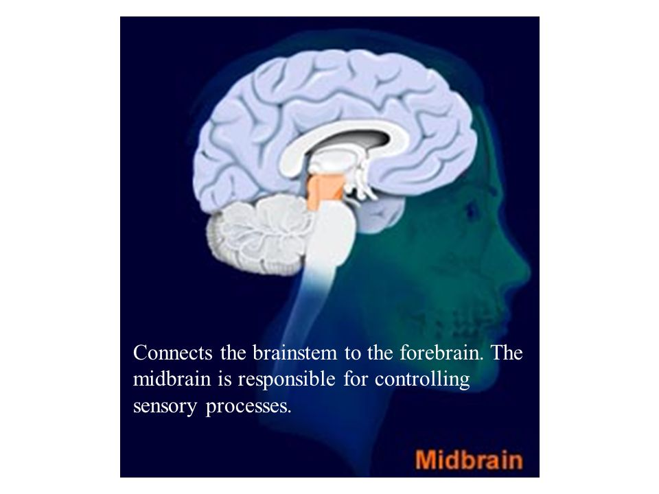 Connects the brainstem to the forebrain.