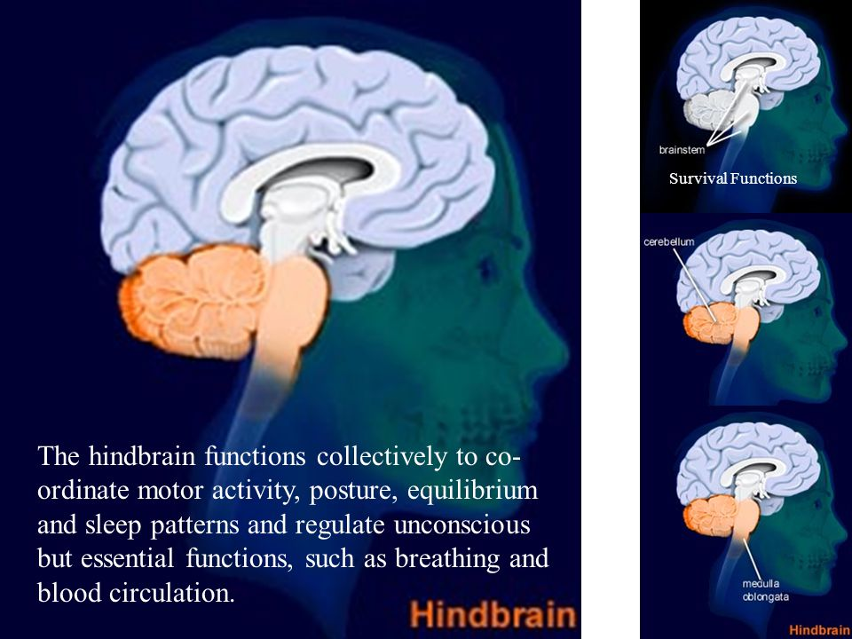 The hindbrain functions collectively to co- ordinate motor activity, posture, equilibrium and sleep patterns and regulate unconscious but essential functions, such as breathing and blood circulation.