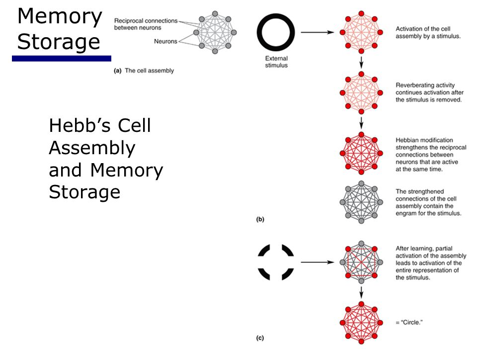Psychology 35510 Memory Storage Hebb's Cell Assembly and Memory Storage
