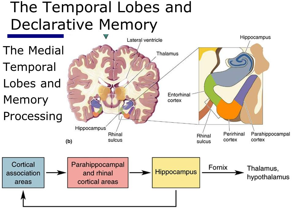 Psychology 35515 The Temporal Lobes and Declarative Memory The Medial Temporal Lobes and Memory Processing