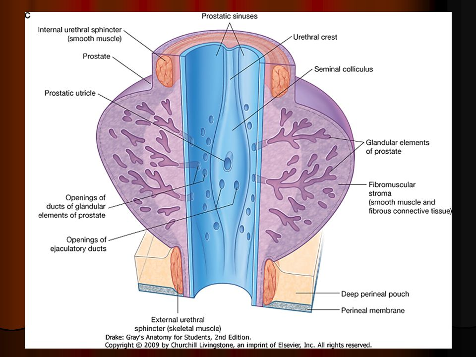 Prostate Gland Seminal Vesicle Ejaculatory Ducts Ppt Video