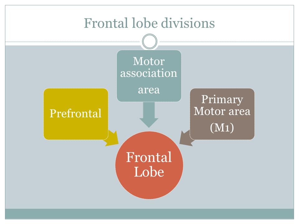 Frontal lobe divisions Frontal Lobe Prefrontal Motor association area Primary Motor area (M1)