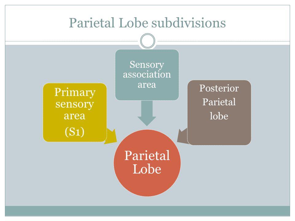 Parietal Lobe subdivisions Parietal Lobe Primary sensory area (S1) Sensory association area Posterior Parietal lobe