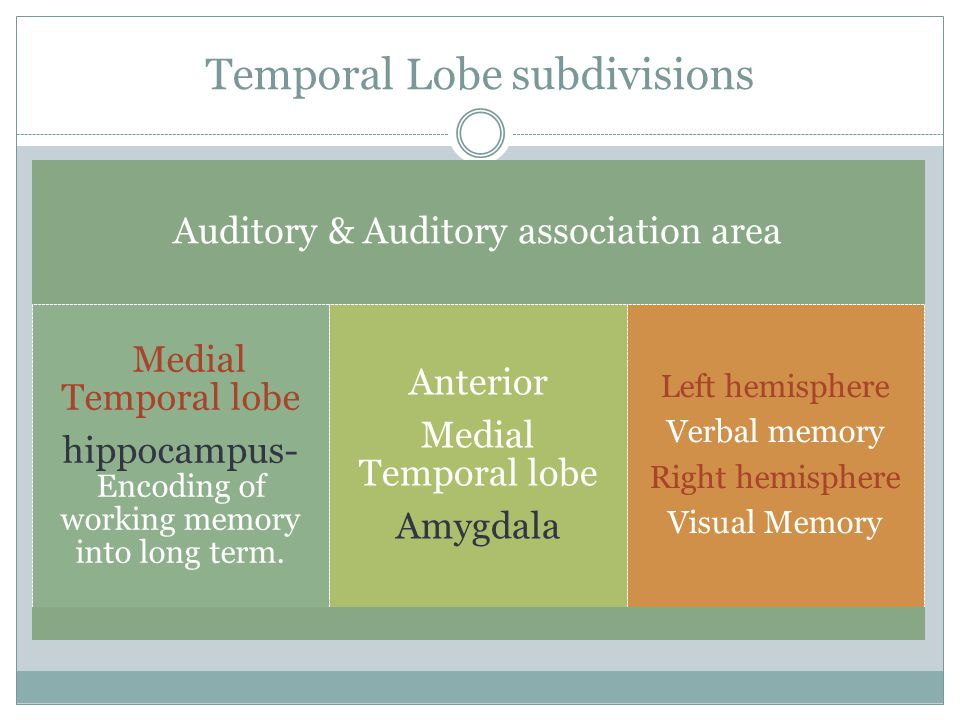 Temporal Lobe subdivisions Auditory & Auditory association area Medial Temporal lobe hippocampus- Encoding of working memory into long term.
