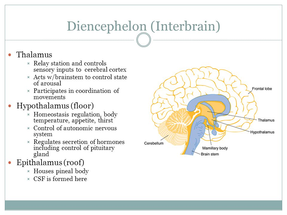 Diencephelon (Interbrain) Thalamus  Relay station and controls sensory inputs to cerebral cortex  Acts w/brainstem to control state of arousal  Participates in coordination of movements Hypothalamus (floor)  Homeostasis regulation, body temperature, appetite, thirst  Control of autonomic nervous system  Regulates secretion of hormones including control of pituitary gland Epithalamus (roof)  Houses pineal body  CSF is formed here