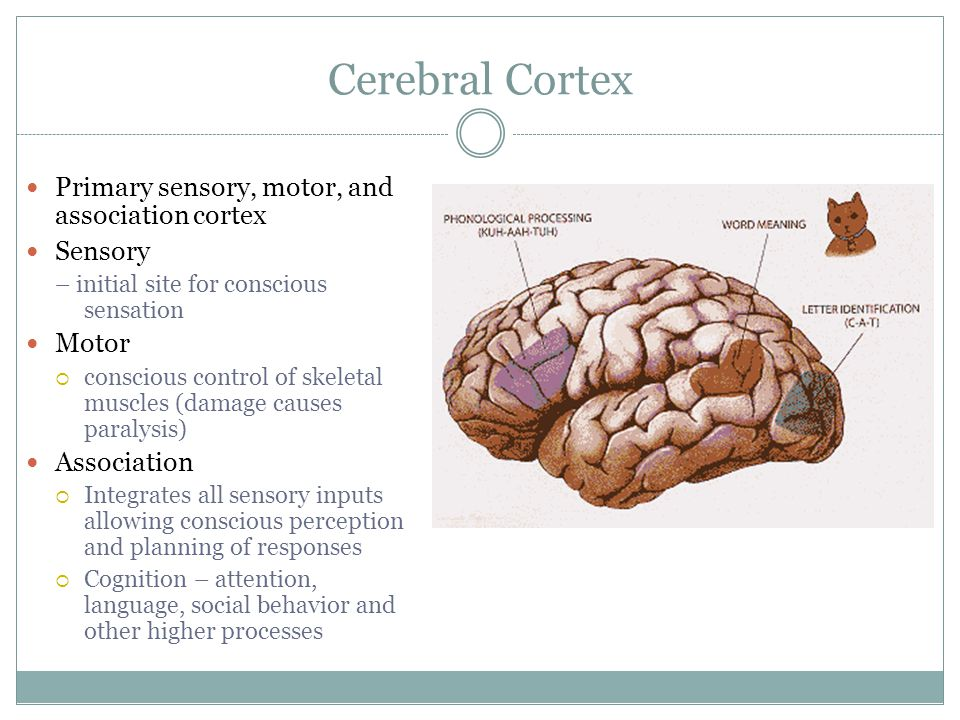Cerebral Cortex Primary sensory, motor, and association cortex Sensory – initial site for conscious sensation Motor  conscious control of skeletal muscles (damage causes paralysis) Association  Integrates all sensory inputs allowing conscious perception and planning of responses  Cognition – attention, language, social behavior and other higher processes