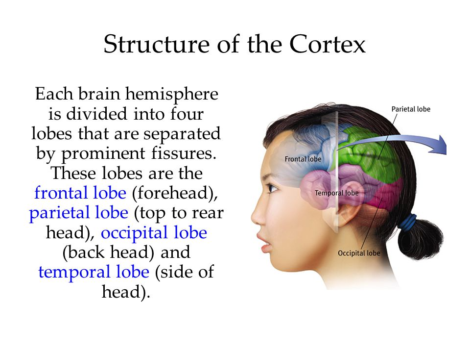 Structure of the Cortex Each brain hemisphere is divided into four lobes that are separated by prominent fissures.