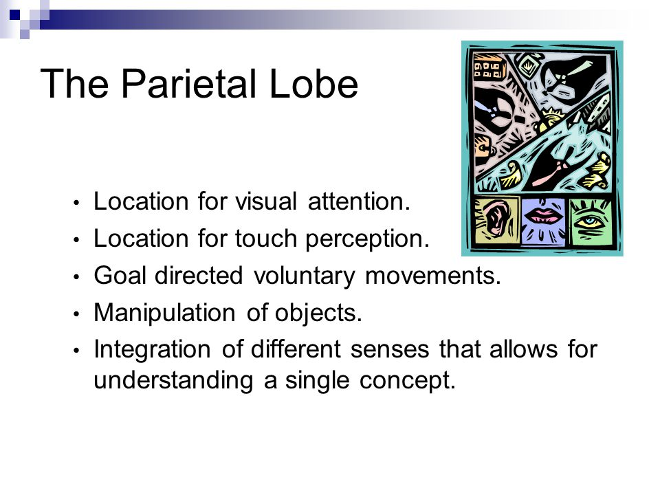 The Parietal Lobe Location for visual attention. Location for touch perception. Goal directed voluntary movements. Manipulation of objects. Integratio