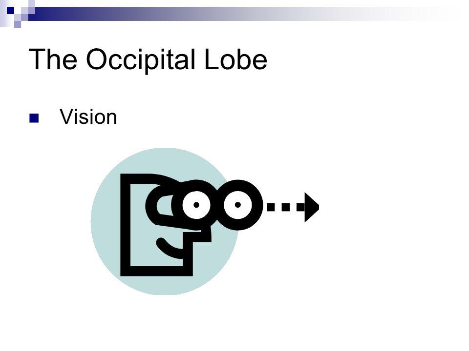 The Occipital Lobe Vision