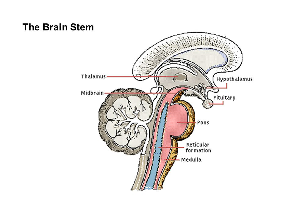 Memory Song Sung to the tune of 10 Little Indians Touch the appropriate area of your brain as you sing: Temporal, Occipital, Parietal Frontal, Cerebellum
