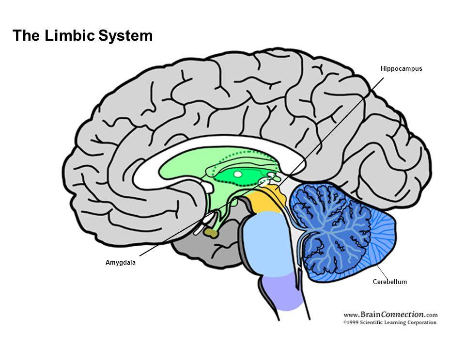 The Limbic System Cerebellum Hippocampus Amygdala