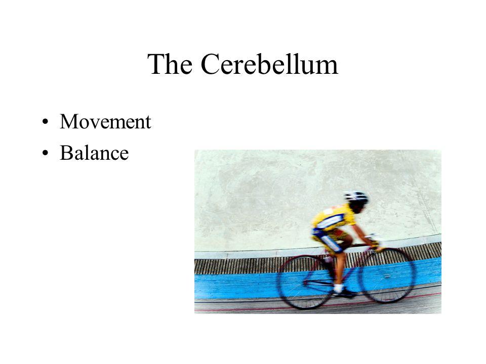 The Cerebellum Movement Balance