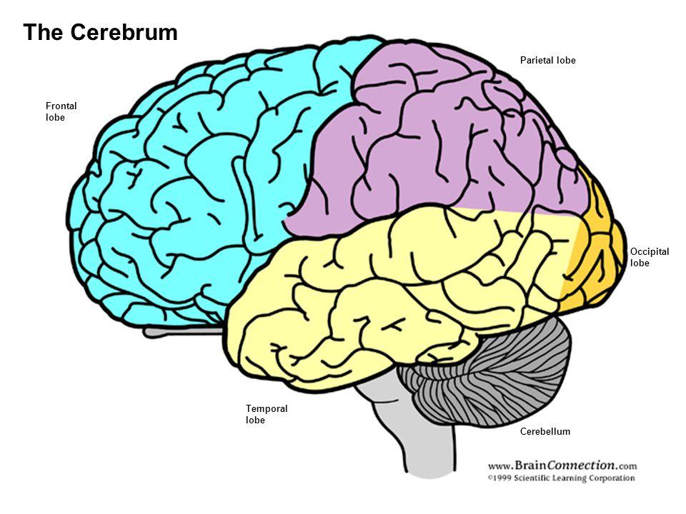 Frontal lobe Temporal lobe Parietal lobe Occipital lobe Cerebellum The Cerebrum