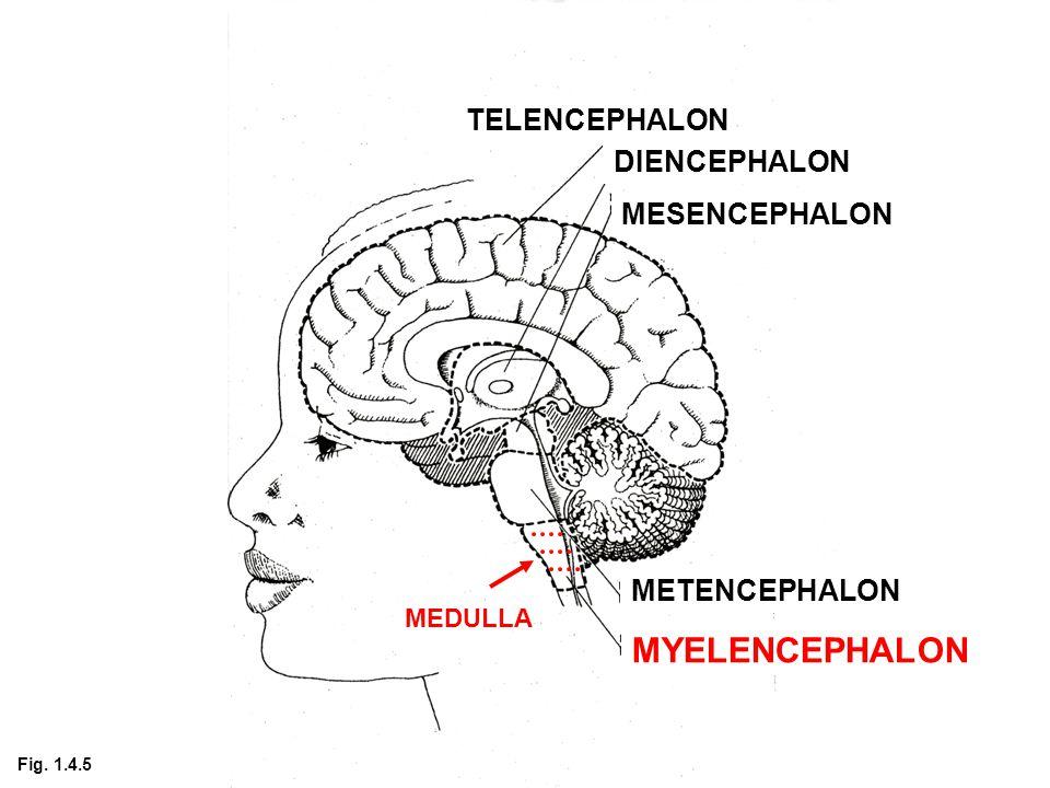 TELENCEPHALON DIENCEPHALON MESENCEPHALON METENCEPHALON MYELENCEPHALON MEDULLA Fig. 1.4.5