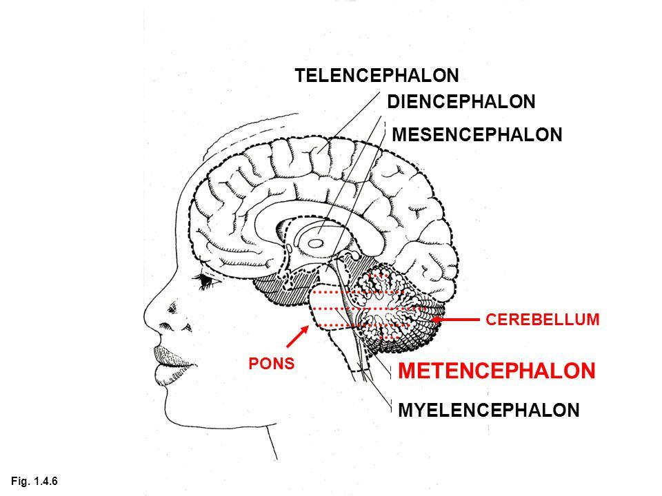 TELENCEPHALON DIENCEPHALON MESENCEPHALON METENCEPHALON MYELENCEPHALON PONS CEREBELLUM Fig. 1.4.6
