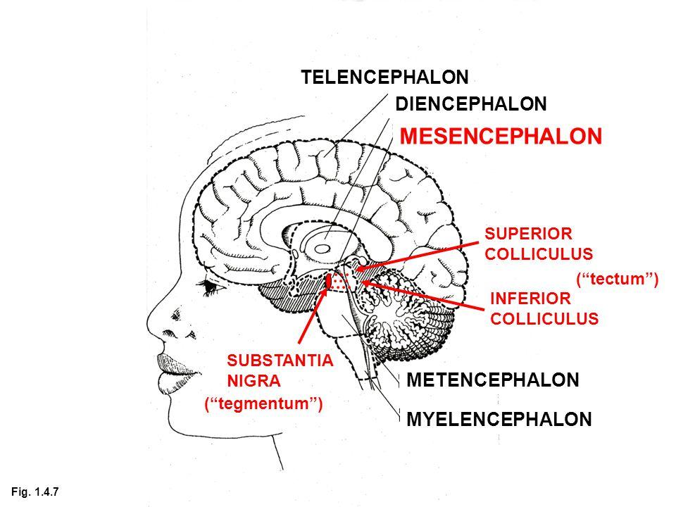 TELENCEPHALON DIENCEPHALON MESENCEPHALON METENCEPHALON MYELENCEPHALON SUPERIOR COLLICULUS INFERIOR COLLICULUS SUBSTANTIA NIGRA ( tectum ) ( tegmentum ) Fig.