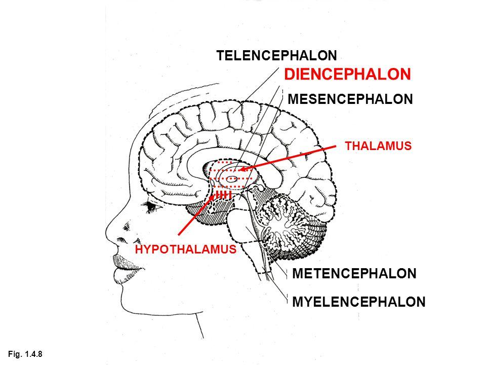 TELENCEPHALON DIENCEPHALON MESENCEPHALON METENCEPHALON MYELENCEPHALON THALAMUS HYPOTHALAMUS Fig.