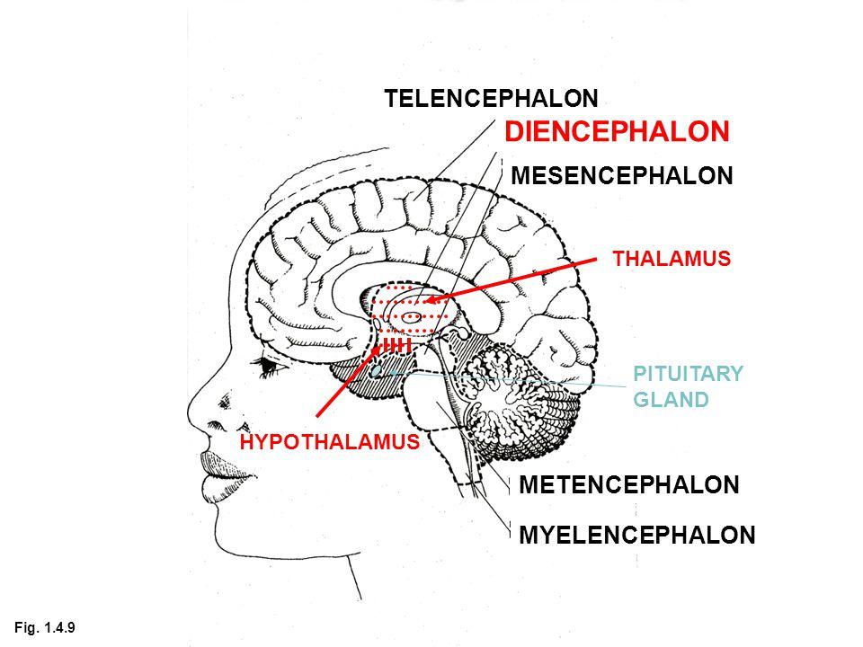 TELENCEPHALON DIENCEPHALON MESENCEPHALON METENCEPHALON MYELENCEPHALON THALAMUS HYPOTHALAMUS PITUITARY GLAND Fig.
