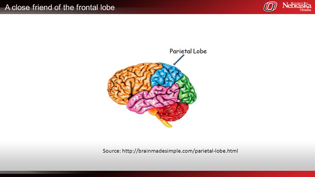 A close friend of the frontal lobe Source: http://brainmadesimple.com/parietal-lobe.html
