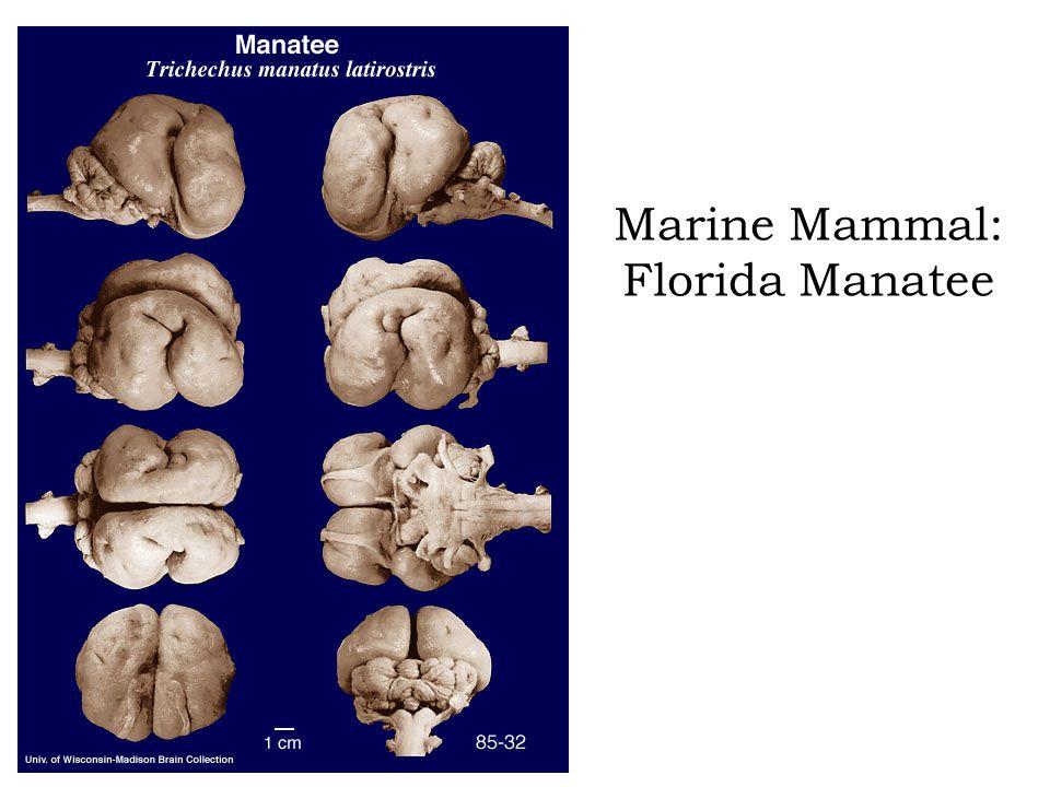 Marine Mammal: Florida Manatee