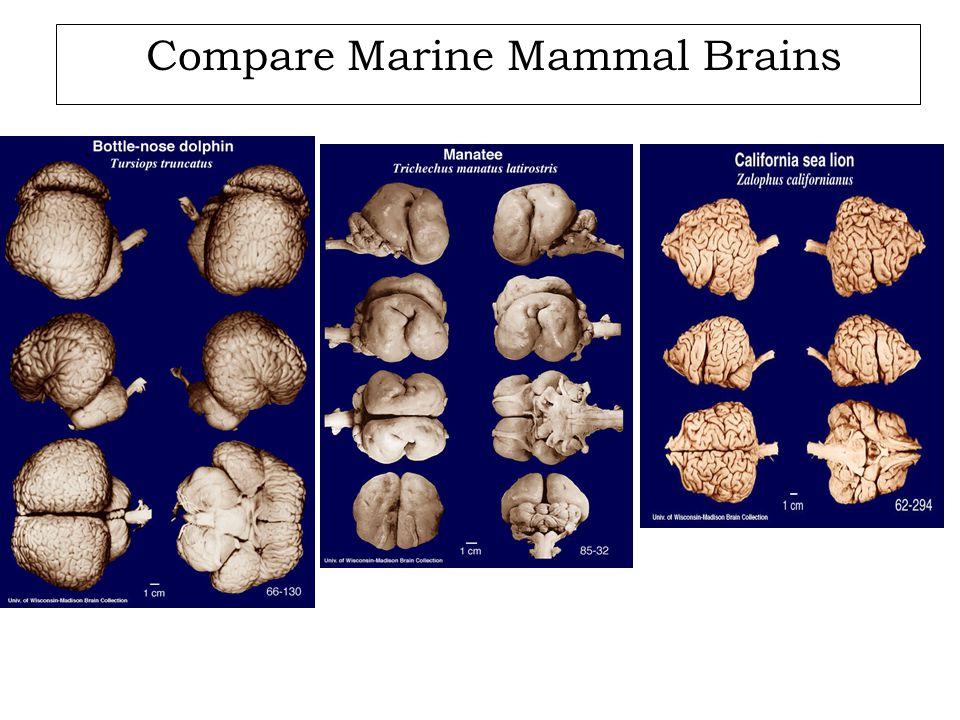 Compare Marine Mammal Brains