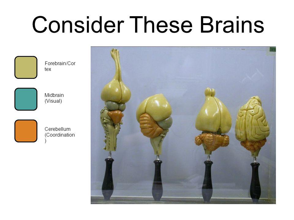 Consider These Brains Forebrain/Cor tex Cerebellum (Coordination ) Midbrain (Visual)