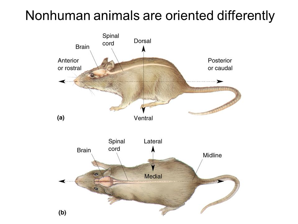 Nonhuman animals are oriented differently