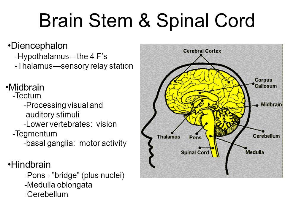 Brain Stem & Spinal Cord -Hypothalamus – the 4 F's -Thalamus—sensory relay station Midbrain Hindbrain -Pons - bridge (plus nuclei) -Medulla oblongata -Cerebellum -Tectum -Processing visual and auditory stimuli -Lower vertebrates: vision -Tegmentum -basal ganglia: motor activity Diencephalon