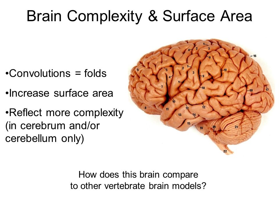 Brain Complexity & Surface Area How does this brain compare to other vertebrate brain models.