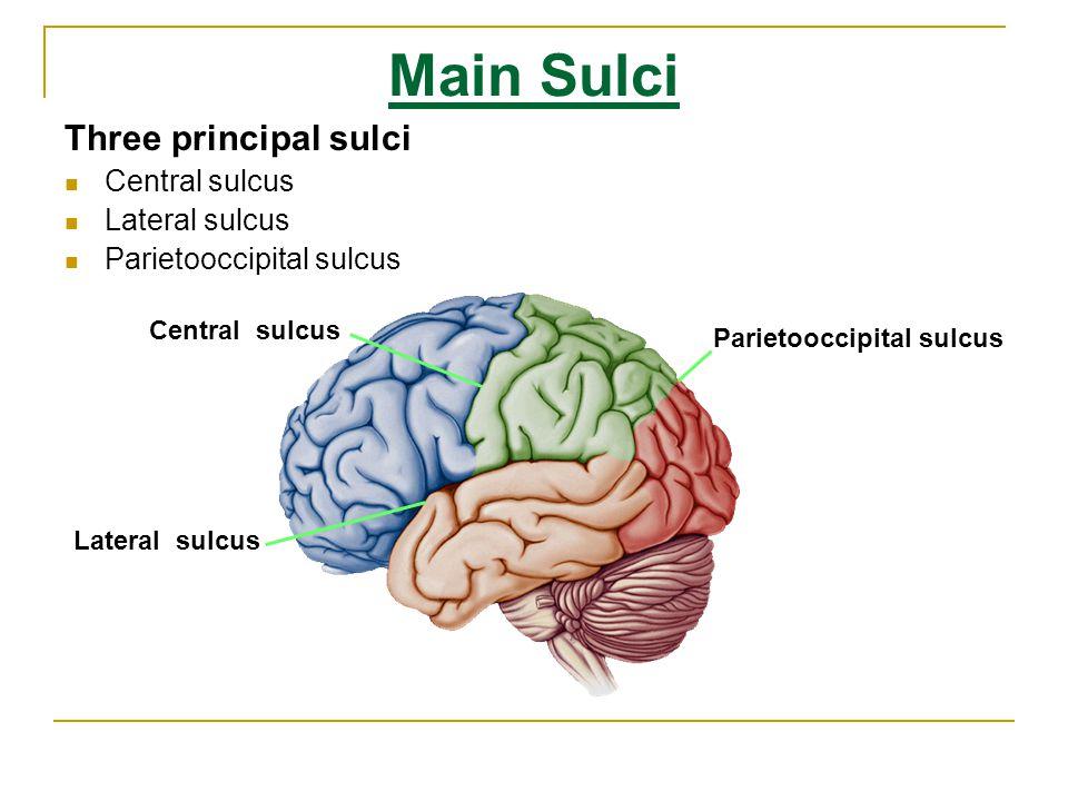 Sulci and Gyri of Medial Surface Corpus callosum Callosal sulcus cingulate gyrus Cingulate sulcus Marginal ramus Paracentral lobule Calcarine sulcus Cuneus Parietooccipital sulcus Lingual gyrus