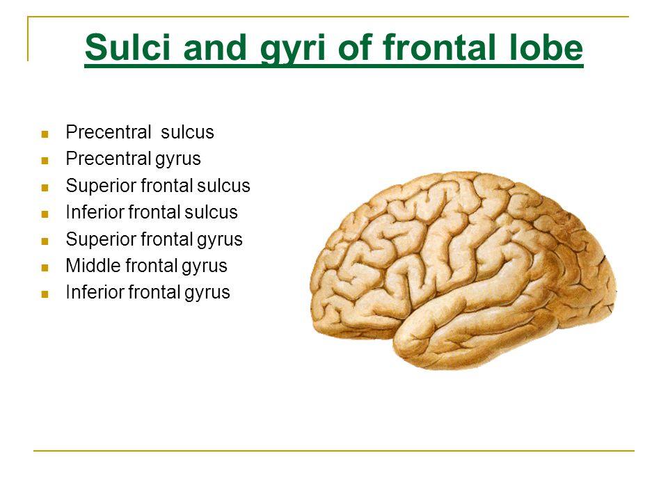 Sulci and gyri of frontal lobe Precentral sulcus Precentral gyrus Superior frontal sulcus Inferior frontal sulcus Superior, middle and inferioe frontal gyri