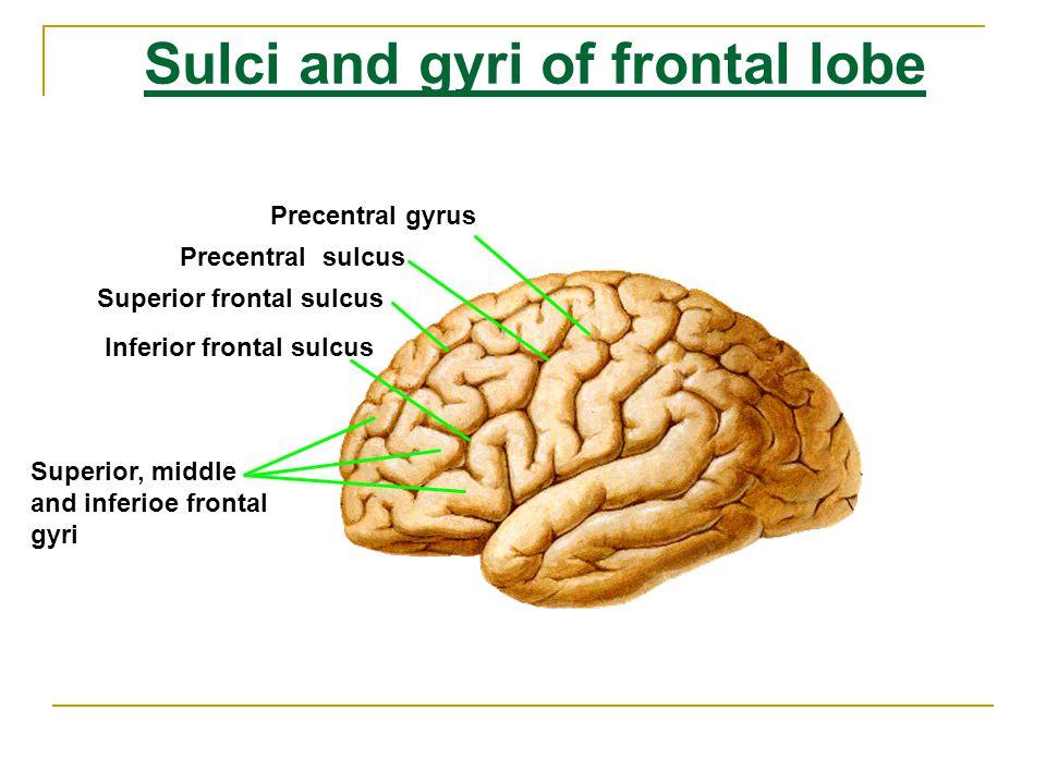 Sulci and Gyri of Parietal Lobe Postcentral sulcus Postcentral gyrus Intraparietal sulcus Superior parietal lobule Inferior parietal lobule Supramarginal gyrus Angular gyrus