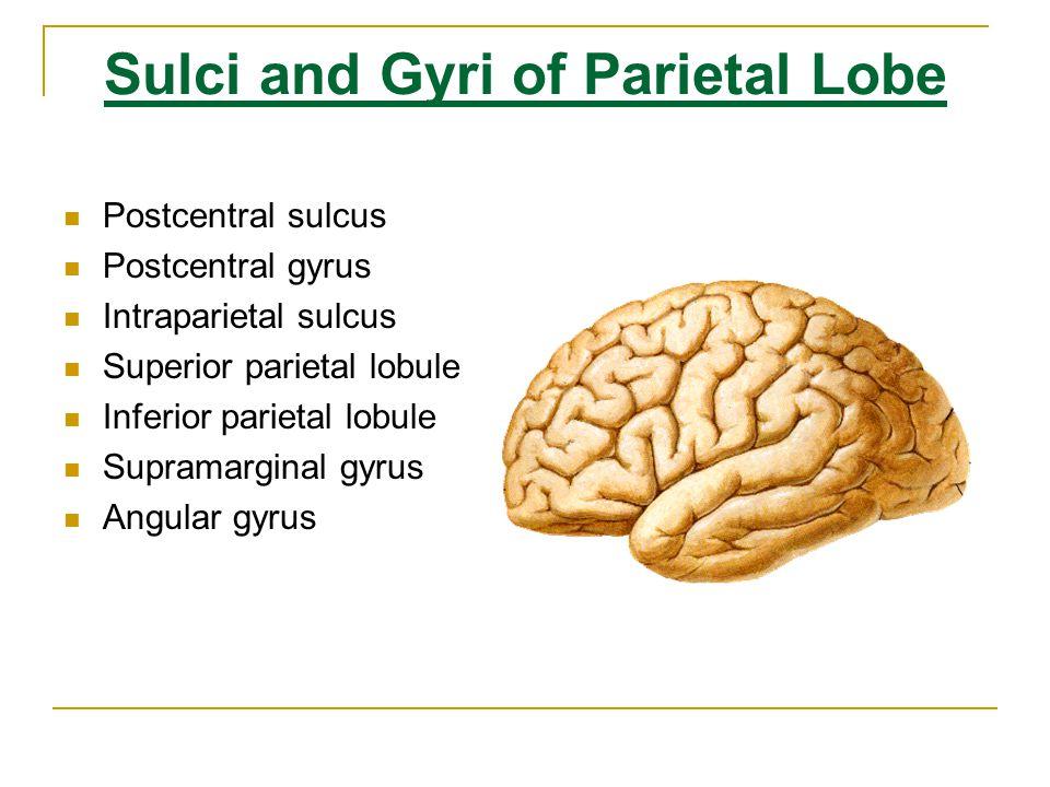 Sulci and Gyri of Parietal Lobe Postcentral sulcus Postcentral gyrus Superior parietal lobule Supramarginal gyrus Angular gyrus Intraparietal sulcus