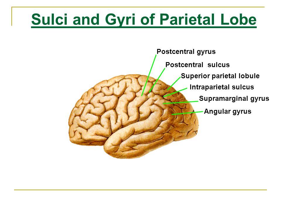 Sulci and Gyri of Temporal Lobe Superior temporal sulcus Inferior temporal sulcus Superior temporal gyrus Middle temporal gyrus Inferior temporal gyrus Transverse temporal gyri