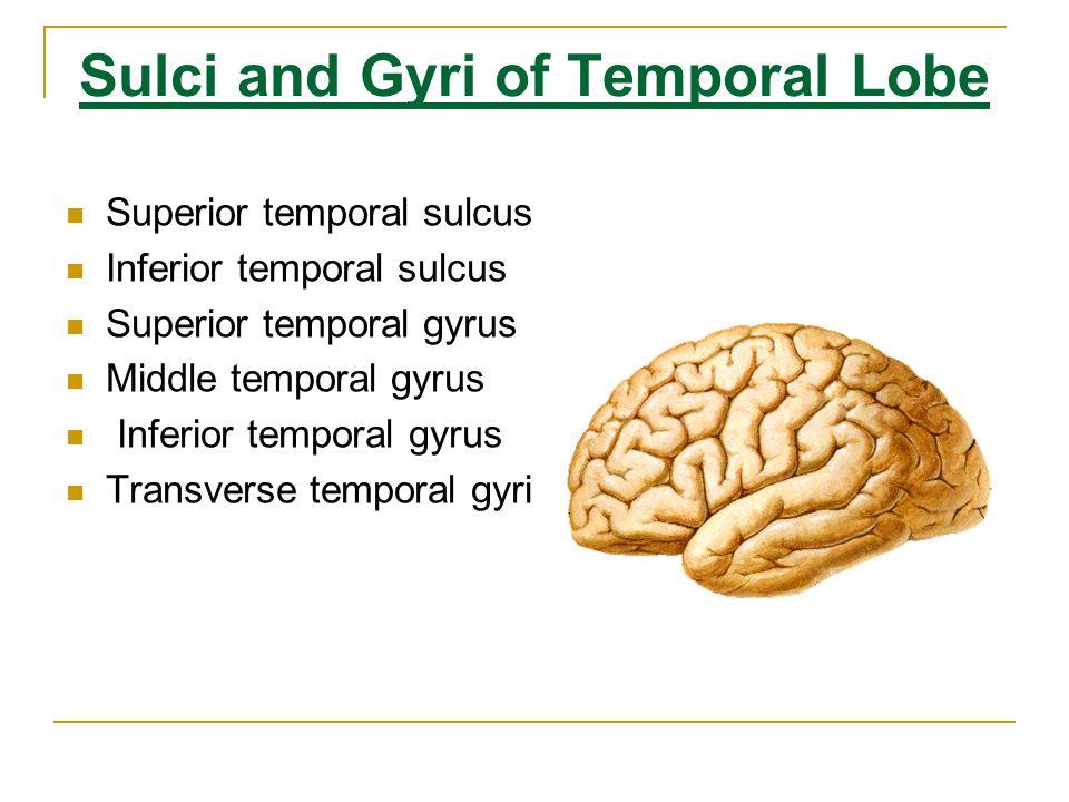 Sulci and Gyri of Temporal Lobe Superior temporal sulcus Inferior temporal sulcus Superior temporal gyrus Middle temporal gyrus Inferior temporal gyrus