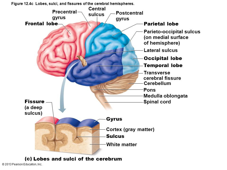 © 2013 Pearson Education, Inc. Figure 12.4c Lobes, sulci, and fissures of the cerebral hemispheres. Frontal lobe Postcentral gyrus Parietal lobe Centr