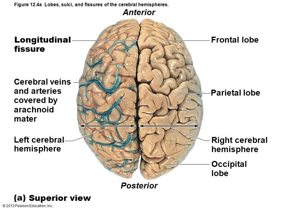 © 2013 Pearson Education, Inc. Figure 12.4a Lobes, sulci, and fissures of the cerebral hemispheres. Anterior Longitudinal fissure Frontal lobe Cerebra