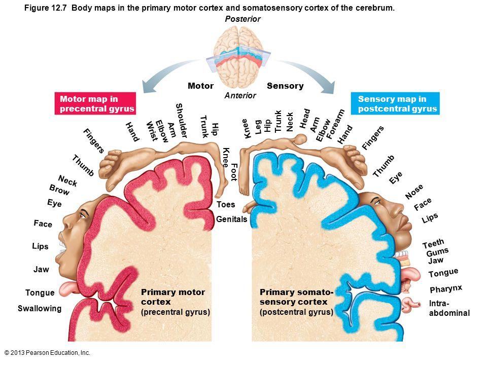 © 2013 Pearson Education, Inc. Figure 12.7 Body maps in the primary motor cortex and somatosensory cortex of the cerebrum. Posterior Motor Sensory Ant
