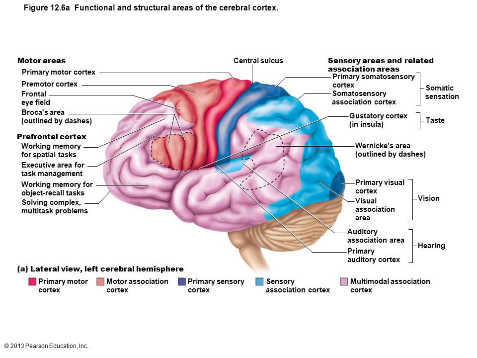© 2013 Pearson Education, Inc. Figure 12.6a Functional and structural areas of the cerebral cortex. Motor areas Primary motor cortex Premotor cortex F
