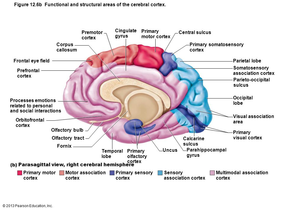© 2013 Pearson Education, Inc. Figure 12.6b Functional and structural areas of the cerebral cortex. Corpus callosum Frontal eye field Prefrontal corte