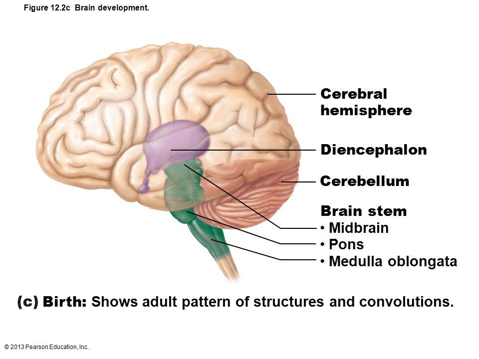 © 2013 Pearson Education, Inc. Figure 12.2c Brain development. Cerebral hemisphere Diencephalon Cerebellum Brain stem Midbrain Pons Medulla oblongata